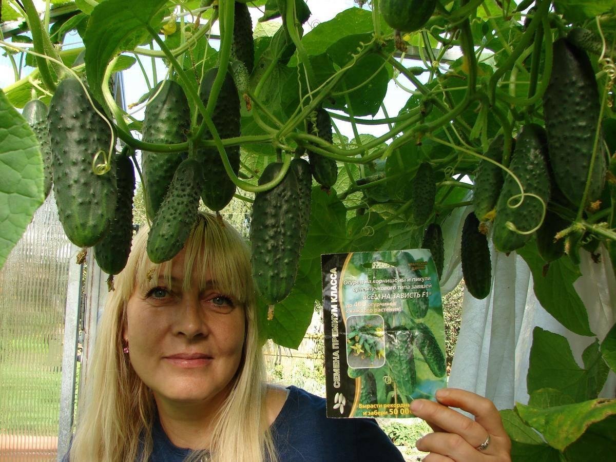 Огурцы «всем на зависть»: описание характеристик сорта f1. посадка, уход, урожайность и выращивание из семян (фото)