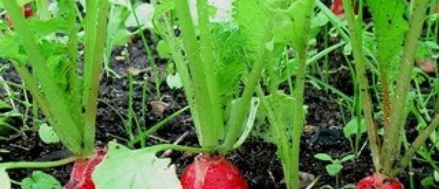 Как выращивать редиску в открытом грунте: дачная агротехника