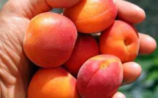Описание сорта абрикоса саратовский рубин, характеристики, отзывы, фото дерева