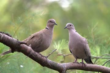 Породы голубей: описание разных видов с фотографиями