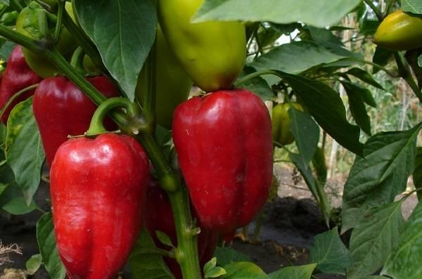 Перец аккорд f1: отзывы, фото, урожайность и описание сорта