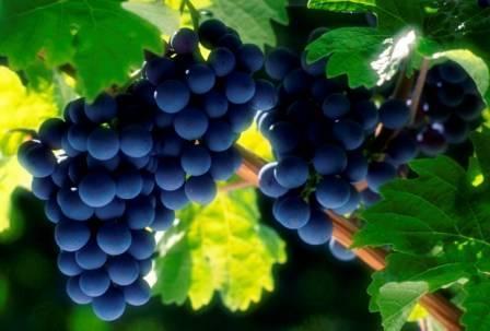 Описание сорта винограда красень, технология посадки и уход