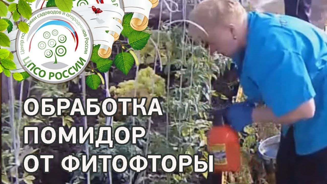 Как развести правильно и как применять медный купорос для опрыскивания томатов