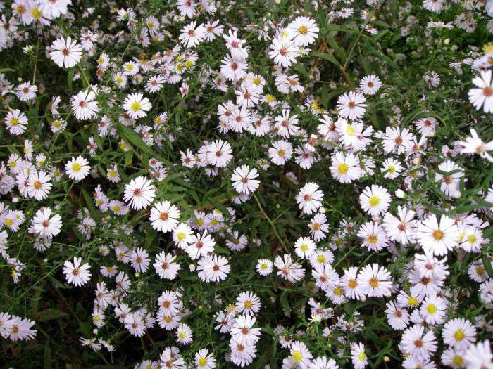 Астра: посадка и уход в открытом грунте, выращивание и сочетание в ландшафтном дизайне, фото, размножение сорта