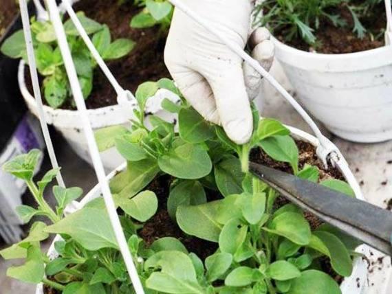 Петунии: правильное прищипывание, уход и выращивание кустистых растений
