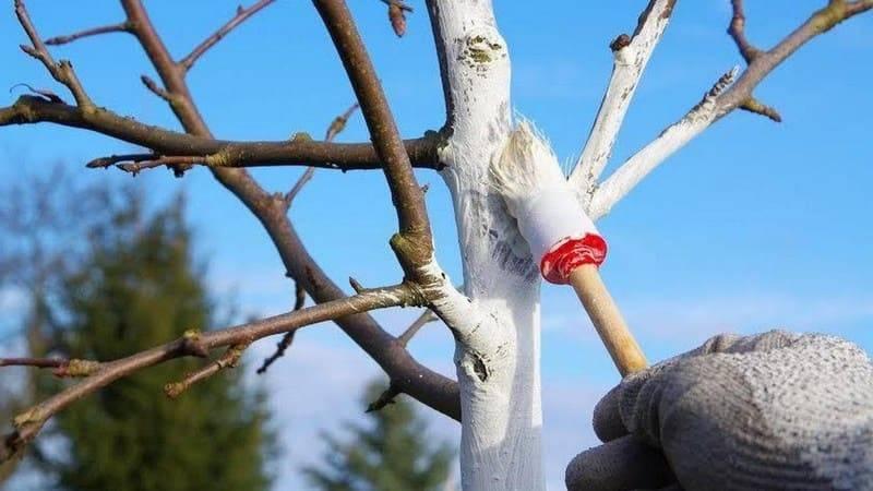 Побелка деревьев весной: как и чем белить, рецепты для побелки