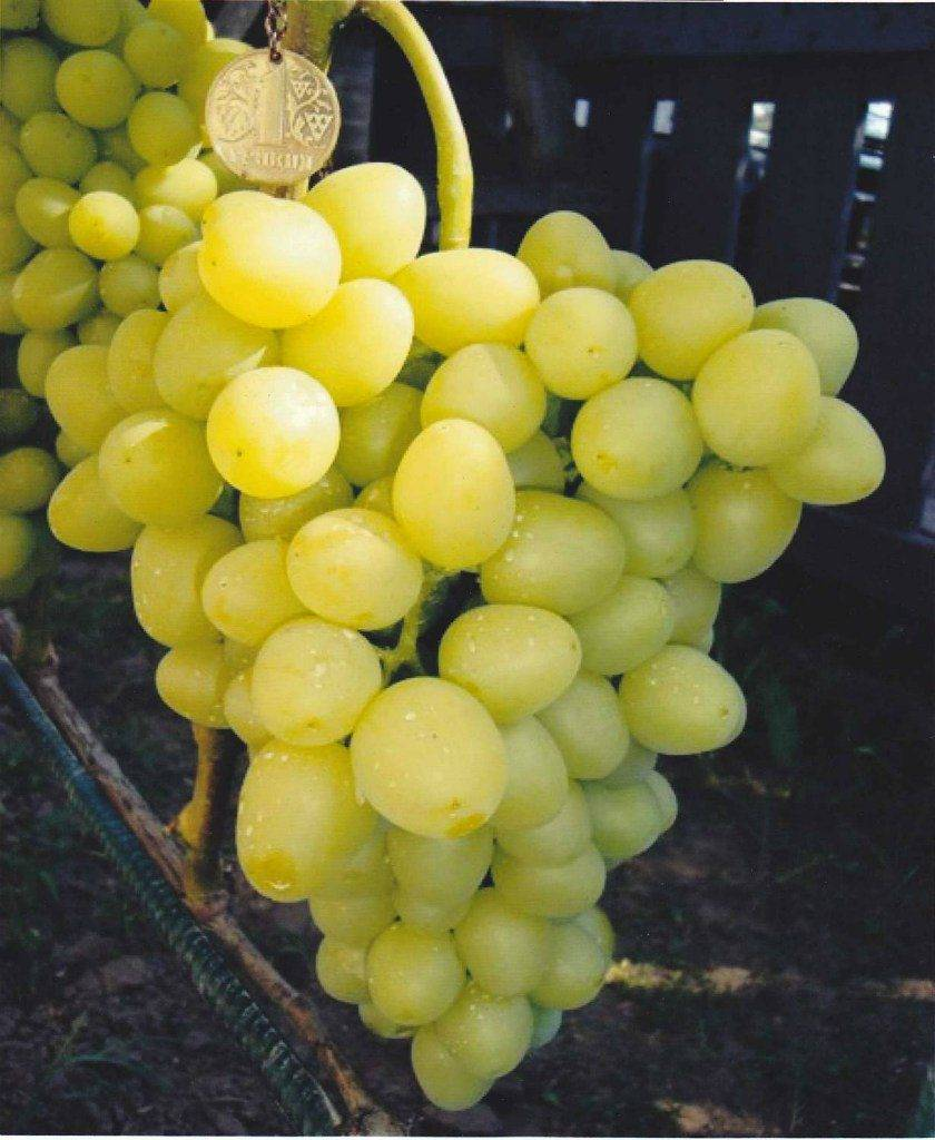 Виноград аркадия: описание сорта, фото, отзывы, уход