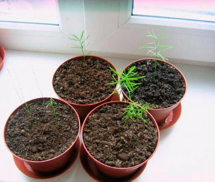 Секреты успешного выращивания комнатного цветка аспарагус