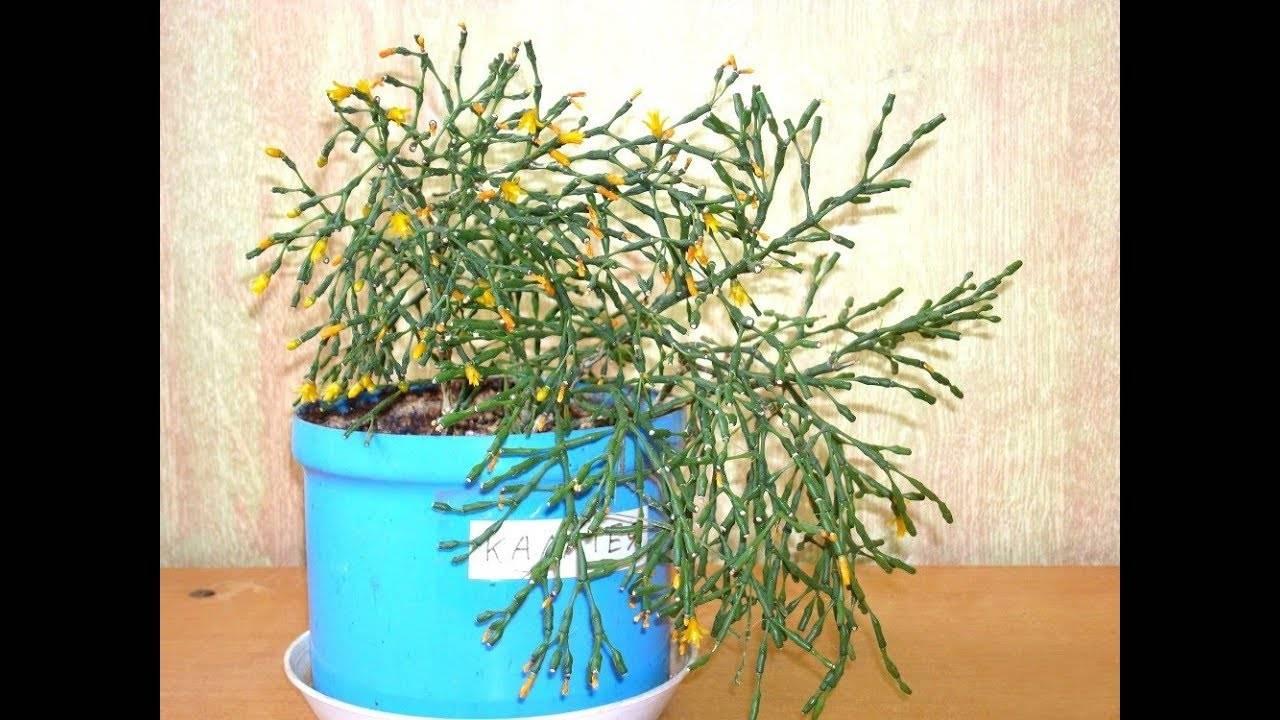 Хатиора - уход в домашних условиях, фото, размножение комнатных растений, пересадка суккулента