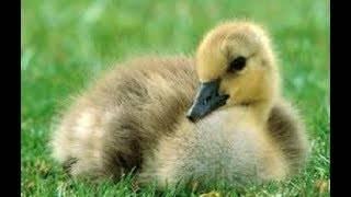 Разведение гусей в домашних условиях - гусеводство - птицеводство - собственник