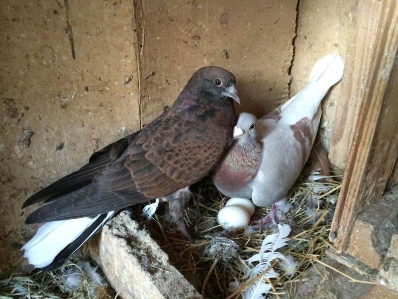 Особенности спаривания птиц; выкармливание птенцов и паровка голубей, способных размножаться