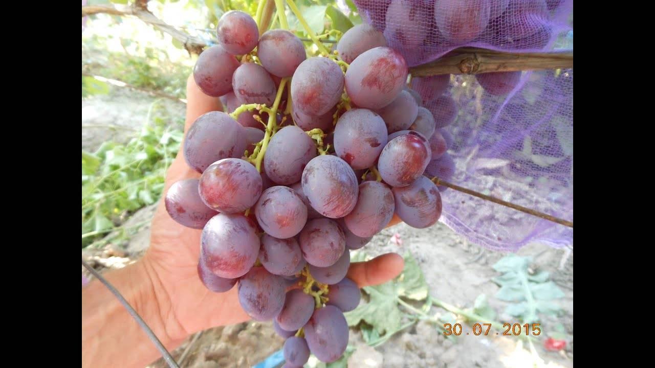 Виноград рошфор: описание, особенности ухода и разведения, отзывы