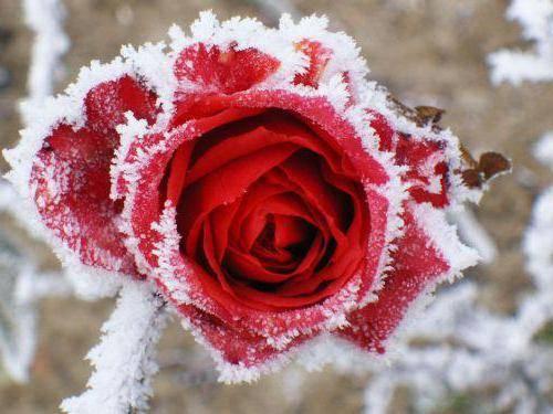 Укрывной материал для роз на зиму: обзор, особенности, виды и отзывы