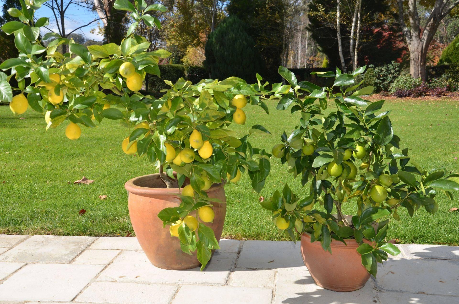 Как вырастить лимон из косточки в домашних условиях в горшке: фото, видео