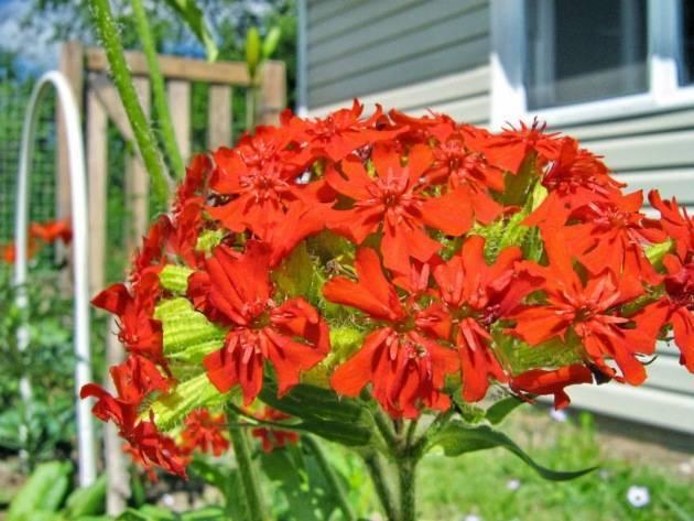 Лихнис: выращивание из семян в открытом грунте, фото, посадка и уход