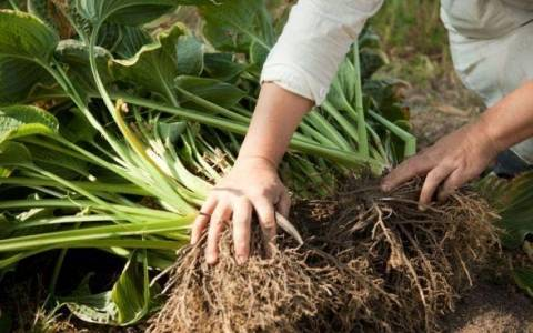 Сроки и методы пересадки хосты в саду