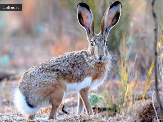 Зайцы: описание, среда обитания, чем питаются, сколько живут