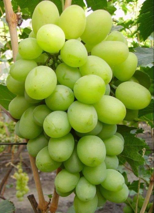 Виноград подарок запорожью: описание сорта
