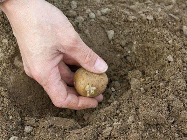 Удобрение для картофеля при посадке: какое лучше?