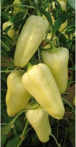 Неоценимая находка для сибирских садоводов — перец хаски f1: описание и характеристика сорта
