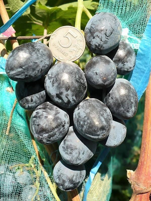 Описание сорта винограда руслан: фото, видео и отзывы