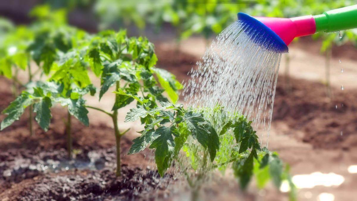 Как часто нужно поливать помидоры после посадки в открытый грунт, фото и видео