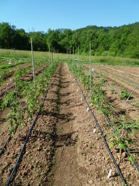 Когда окучивать помидоры в открытом грунте | вырасти сад!