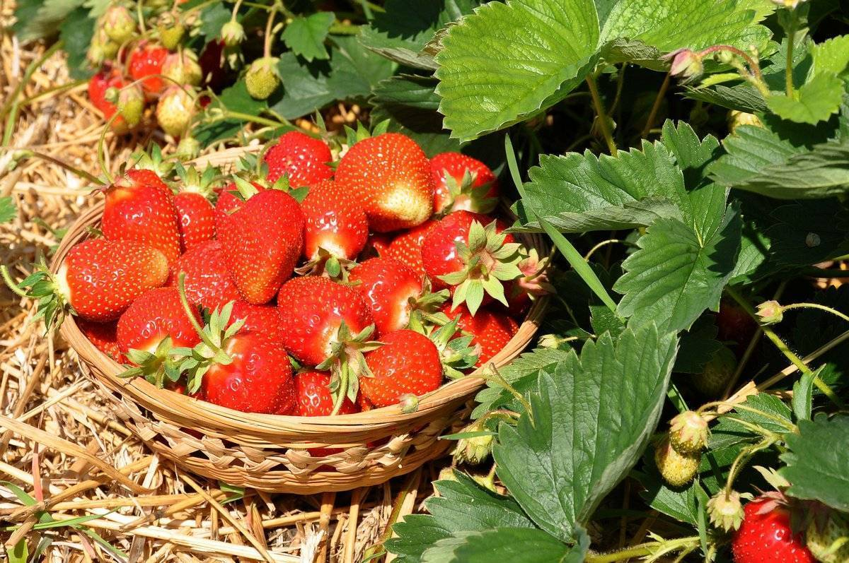 Подкормка клубники после сбора урожая