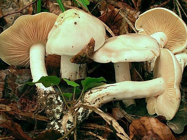Энтолома ядовитая - agroflora.ru