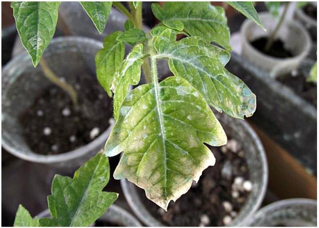 Почему сохнут кончики листьев у рассады помидор
