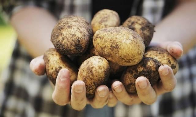 Сорт картофеля аврора – описание, посадка и уход