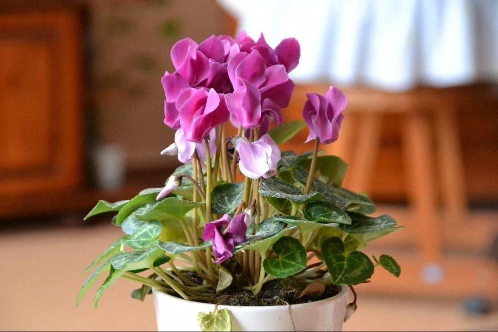 Цикламен отцвел, что делать дальше: как во время периода покоя ухаживать за комнатным растением в домашних условиях, часто ли и когда поливать, чтобы сохранить? selo.guru — интернет портал о сельском хозяйстве