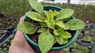Почему желтеют листья у петунии в горшках и в кашпо и что делать, если сохнет нижняя часть куста: как бороться с проблемой и чем подкормить растение?дача эксперт