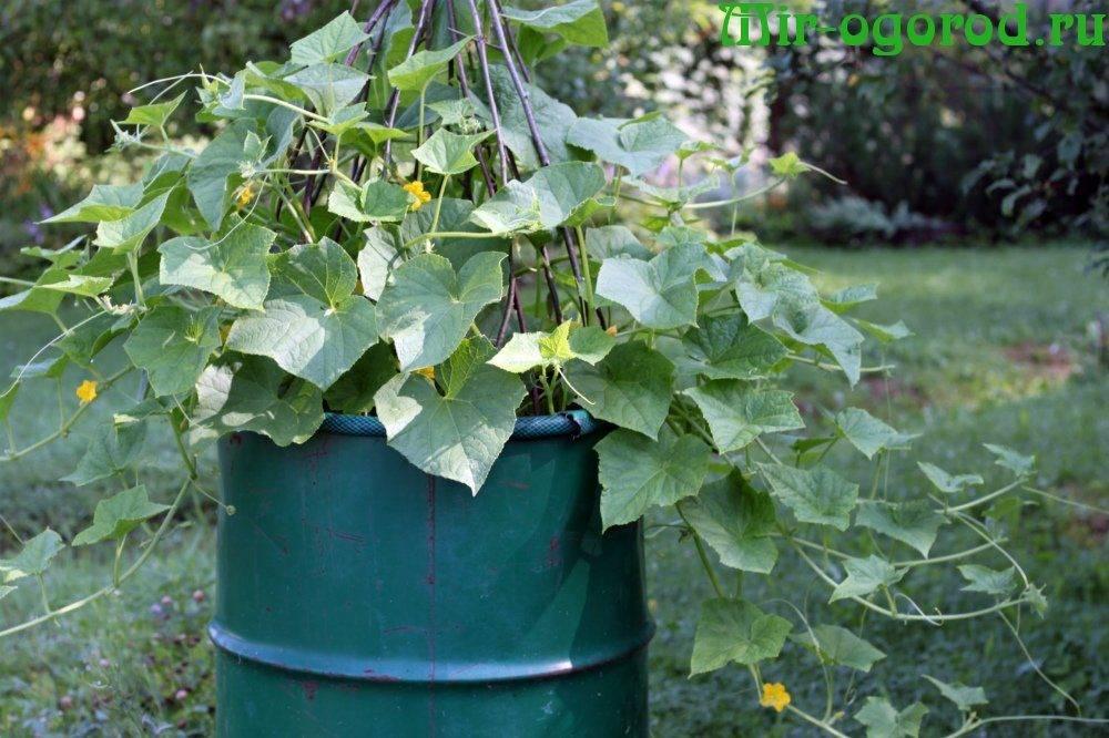 Ганичкина лучшие сорта огурцов - сад и огород