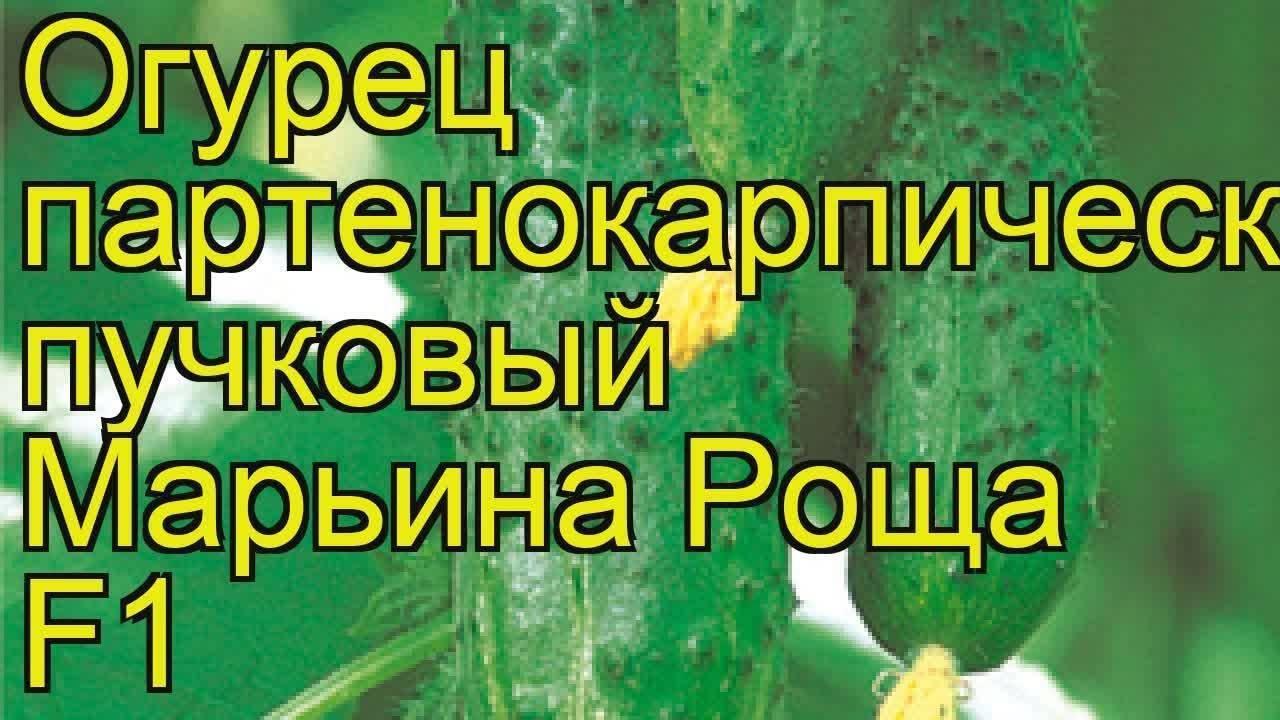 Огурец f1 марьина роща: фото и описание сорта