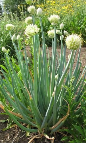 Лук батун выращивание и уход в теплице, особенности сорта + фото
