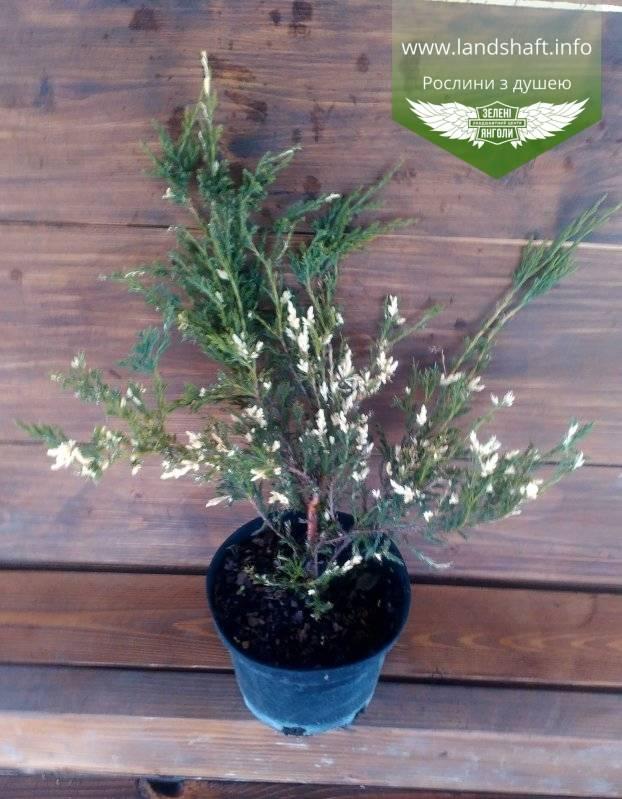 Как вырастить горизонтальный можжевельник андорра вариегата (andorra variegata) на участке?