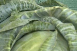 Почему скручиваются листья рассады?