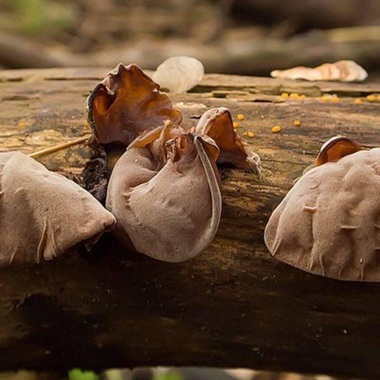 Черный гриб муэр