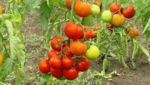 Как посадить и вырастить томат «жонглёр»