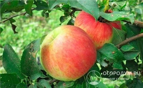 Описание сортов яблони китайка (бельфлер, золотая, санинская, керр и др.)
