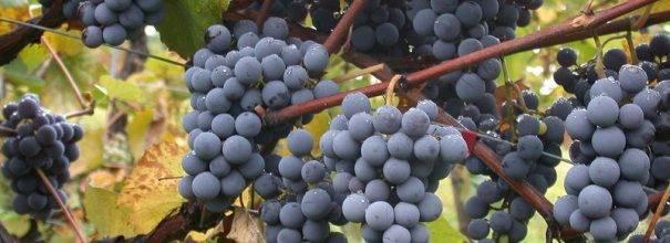 Как правильно сажать виноград черенками осенью