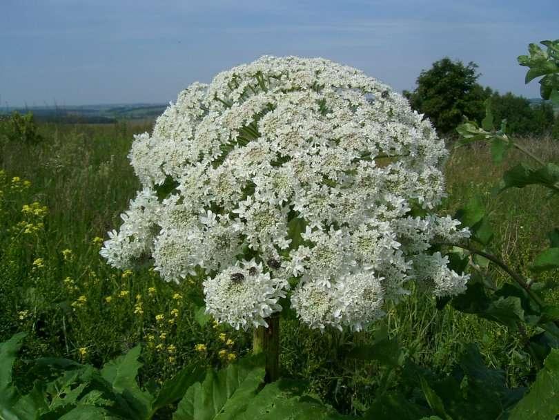 Борщевик: как выглядит сосновского, сибирский, обыкновенный, борьба с ядовитым растением, ожоги от травы