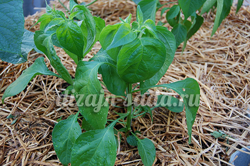 Тля и другие вредители на рассаде перца: как избавиться от насекомых
