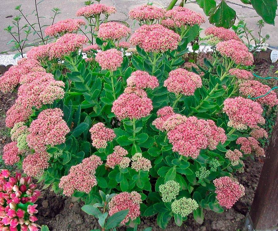 Очиток или седум посадка и уход в открытом грунте виды и сорта с фото выращивание из семян дома