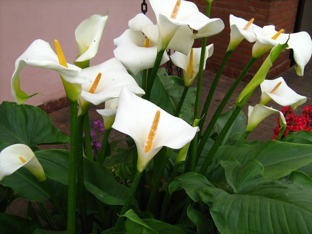 Почему не цветут каллы в открытом грунте и что делать, как заставить зацвести - село. сад.