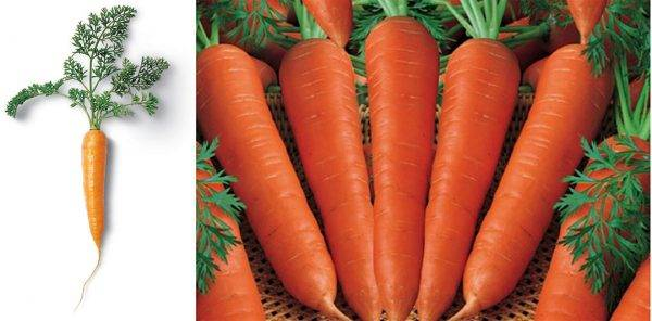 Как вырастить морковь и сохранить хороший урожай – советы новичкам