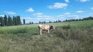Определение телок коров в животноводстве и какой это возраст, как выбрать