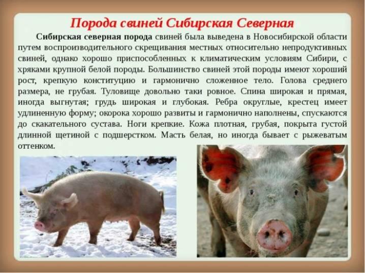 Сравнительная таблица по породам свиней — свиноводство