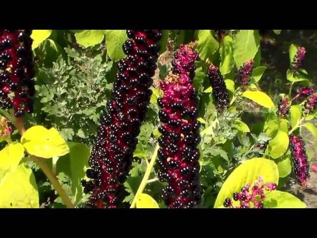 Тропический лаконос на вашей даче, особенности выращивания на дачном участке